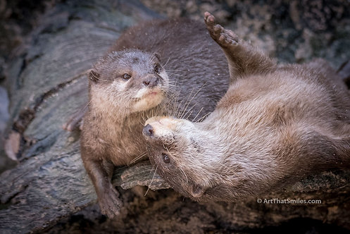 OTTER NONSENSE - photograph of two playful river otters.