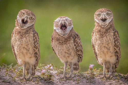 Photograph of immature burrowing owls being very expressive in Cape Coral, Florida.