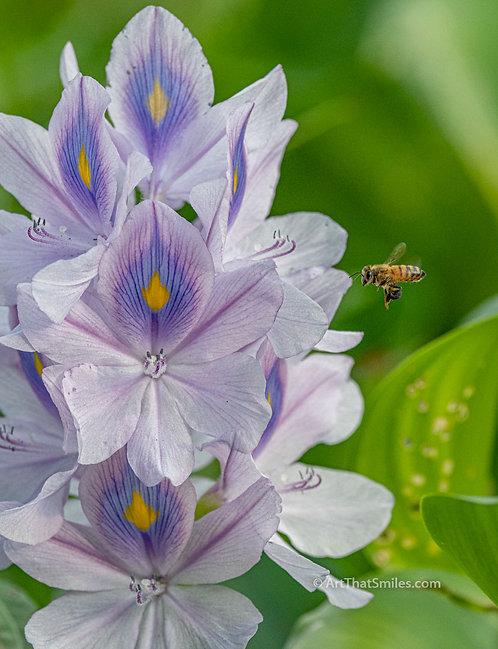 Photograph of bee and water hyacinth in Largo Central Park Nature Preserve in Largo, Florida.
