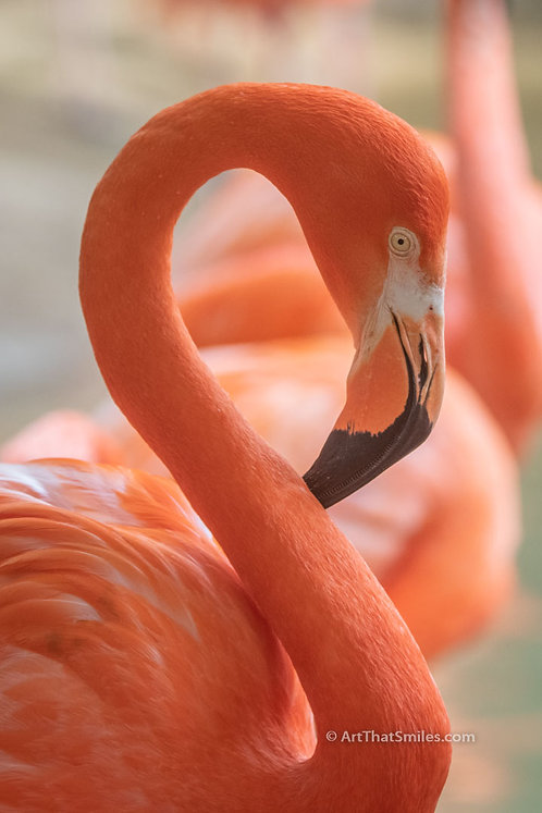 Photograph of a greater flamingo in the Galapagos Islands.