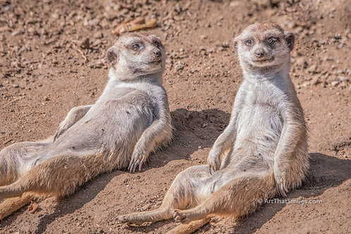 "Funny photograph of meerkats at San Diego Zoo acting silly and uncharacteristically lying around. Art from the ""Land Animals"""