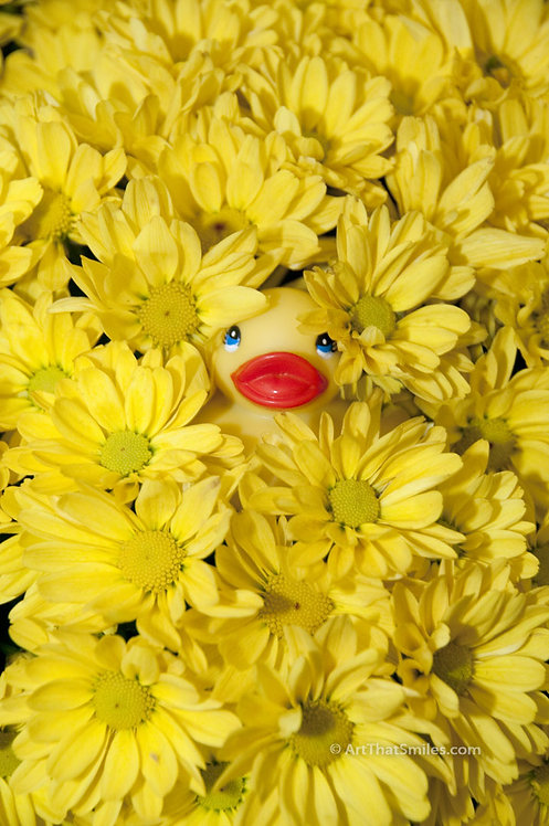 MUMS THE WORD - a funny and beautiful photograph of rubber ducky hiding in yellow flowers (mums).