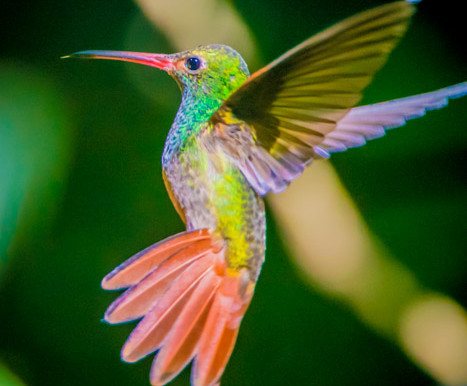 Mindo Cloud Forest Hummingbirds
