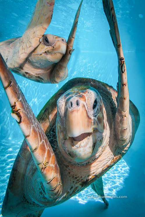 NICE TO SEE YOU - photograph of rescued loggerhead sea turtles at the Loggerhead Marinelife Center on Juno Beach, Florida.