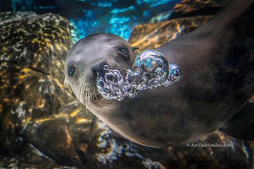 BUBBLES - Funny photo of California sea lion at the Channel Islands, CA blowing bubbles.