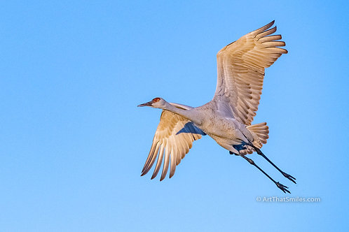 Photograph of a sandhill crane flying over Bosque del Apache National Wildlife Refuge in San Antonio, New Mexico.