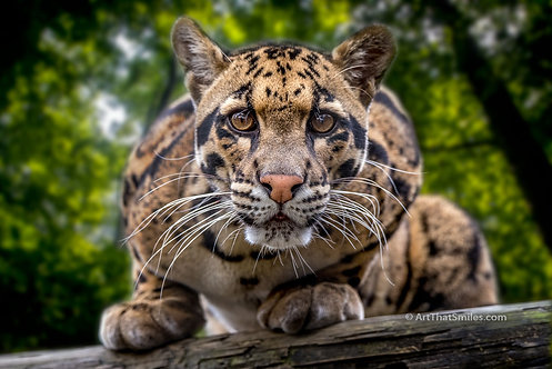 "Photograph of clouded leopard striking a very interested look. Art from the ""Land Animals"" photo collection."