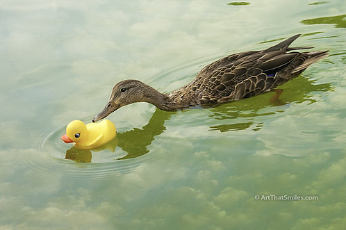 """""""ADOPTED?"""" - a funny photograph of a real live duck checking out a rubber ducky"""