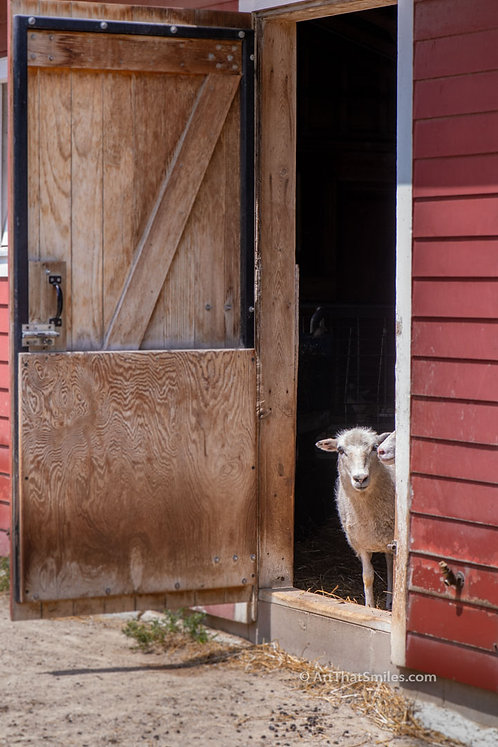 Photograph ofsheep in the barn at Minnesota Zoo in Apple Valley, Minnesota.