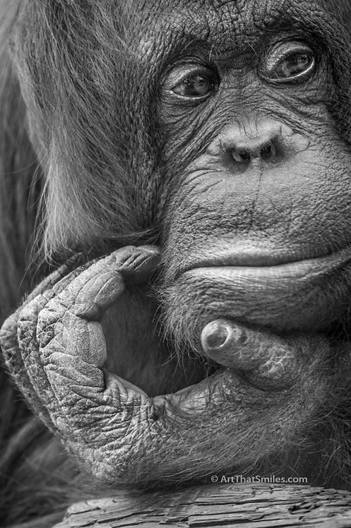 Photograph of an orangutan in deep thoughtat Lowry Park Zoo in Tampa, Florida.
