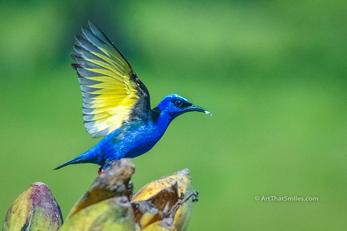 "A FLASH OF COLOR - Photograph Red-legged honeycreeper in La Fortuna, Costa Rica. Bird art from the ""winged Animals"" photo ..."