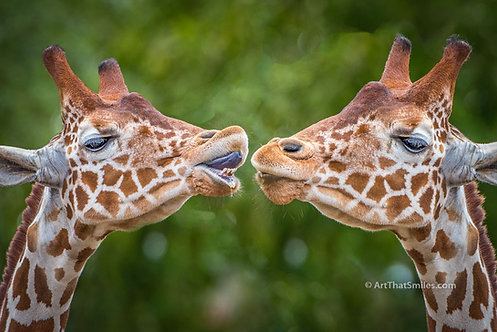 "Photograph of young giraffes acting adorable. Art from the ""Land Animals"" photo collection."