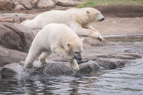 "A photograph of a polar bear cub diving in at Columbus Zoo, Ohio as mother rests. Art from the ""Land Animals"" photo ......"