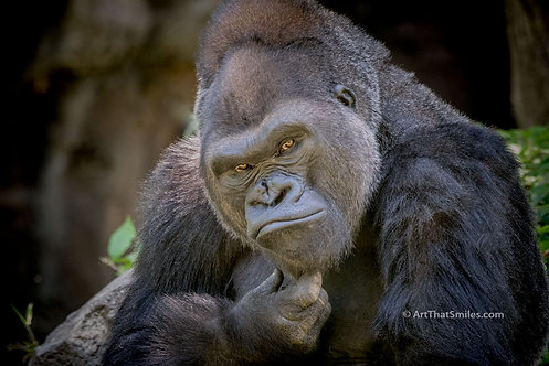 "Funny photograph of a western lowland gorilla making a very expressive gesture. Art from the ""Land Animals"" photo collection."