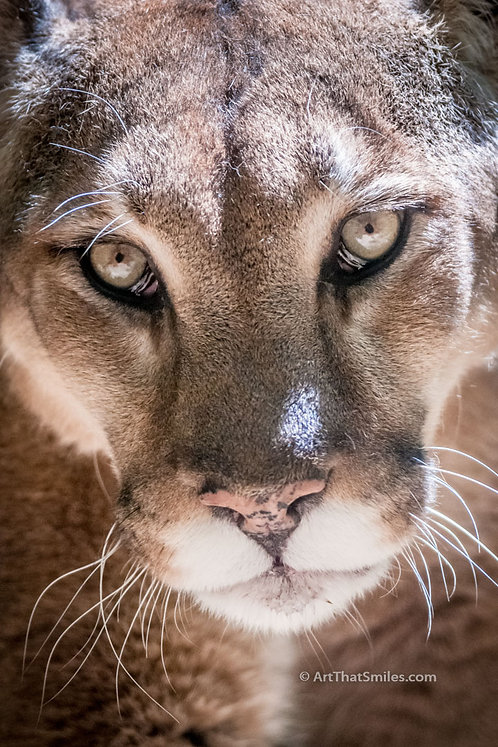 "A photograph of a mountain lion in Fort Worth Zoo, Texas.​​​​​​​ Big cat art from the ""Land Animals"" photo collection."