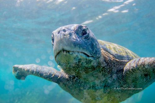 SWIMMINGLY - photograph of loggerhead sea turtle near Moreno Point on Isabela Island (Galapagos Islands).