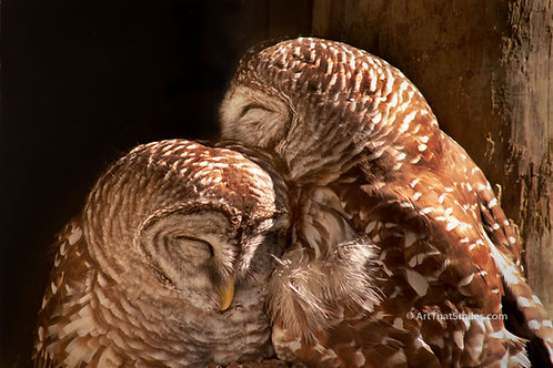 Photograph of barred owls snuggling on cold winter morning at Homosassa Springs State Park, Florida.
