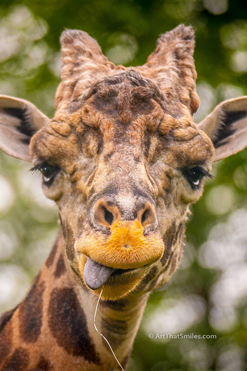 """Cute photograph of a giraffe making a funny face in the Masai Mara, Kenya. Art from the """"Land Animals"""" photo collection."""