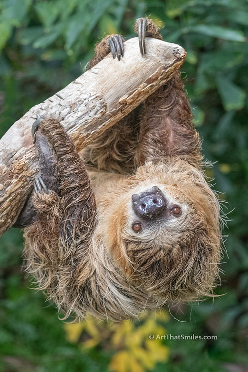 "Photograph of a cute two-toed sloth hanging out. Art from the ""Land Animals"" photo collection."