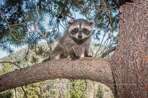 A cute photograph of a youngraccoon playing outside in the Jackson Hole area of Wyoming.