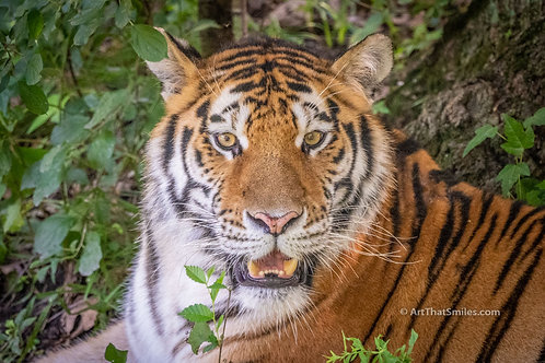"Photograph of a tiger at Minnesota Zoo in Apple Valley, Minnesota.​​​​​​​ Art from the ""Land Animals"" photo collection."