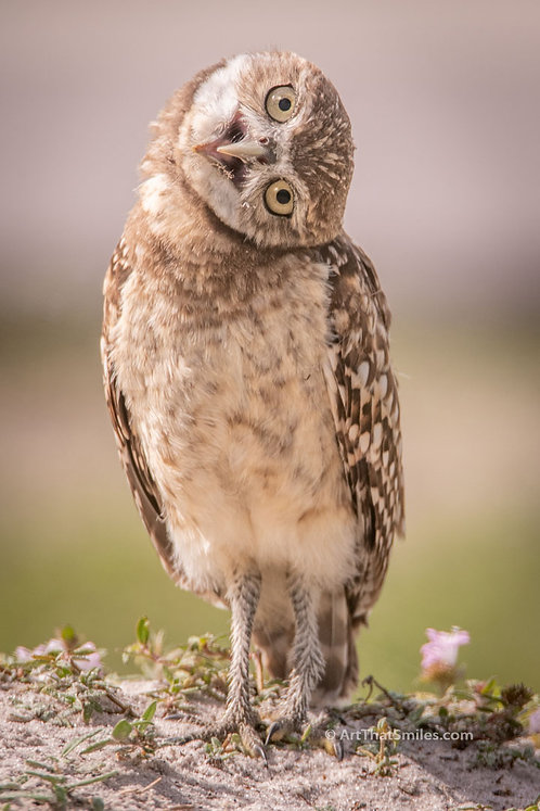 Photograph of immature burrowing owl being very expressive in Cape Coral, Florida.