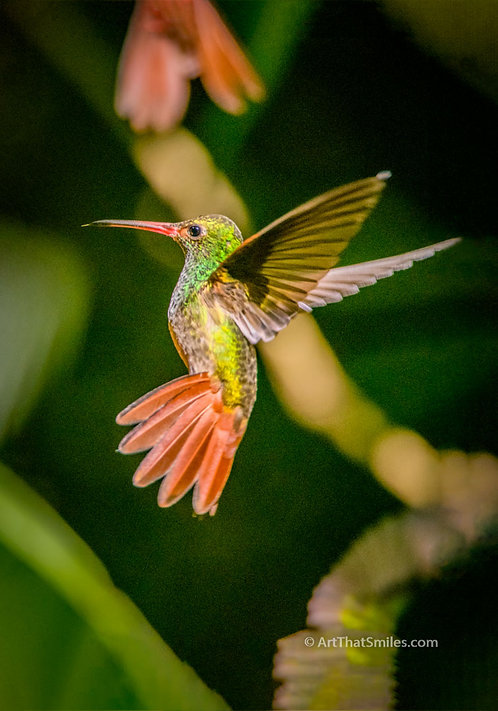 Photograph of a Rufous-tailed hummingbird in the cloud forest of Mindo, Ecuador.
