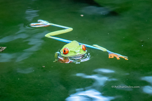 FROG LEGS - funny photo of red-eye tree frog swimming near Sarapiqui Costa Rica.