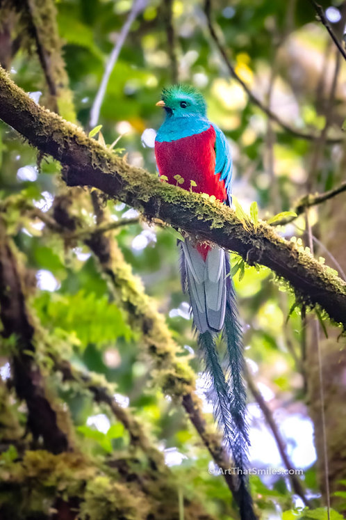 RARE BEAUTY - Photograph of a resplendent quetzal in Monteverde Cloud Forest Biological Preserve.