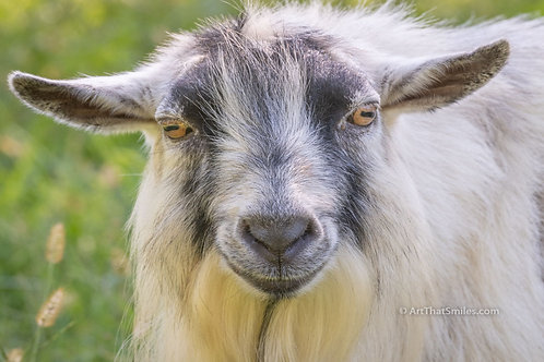 "Photograph of goat at Wildlife Prairie Park in Peoria, Illinois. Art from the ""Land Animals"" photo collection."