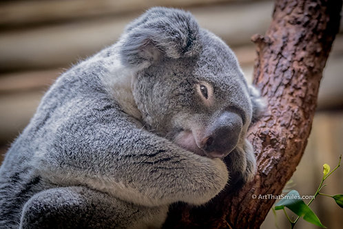 """Cute photograph of a koala at a zoo. Art from the """"Land Animals"""" photo collection."""