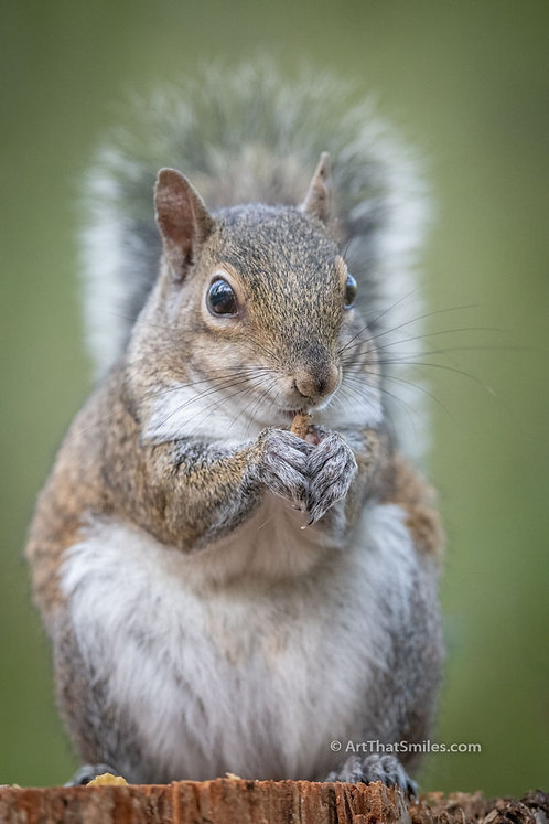 Photograph of an eastern gray squirrel at John Chestnut Park in Palm Harbor, Florida.
