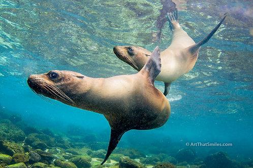 WATER BALLET - Cool photograph of Galapagos sea lions near Santa Fe Island in the Galapagos Islands.