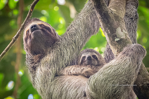 Adorable photograph of a mother three-toed sloth carrying her baby at Manuel Antonio National Park in Costa Rica.