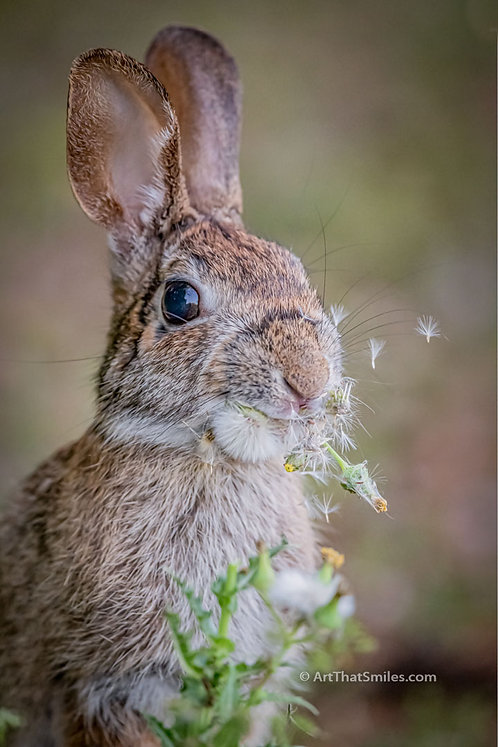 A funny and cute photograph of a cottontail rabbit at Largo Central Park Nature Reserve in Largo, Florida.