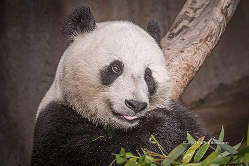 """Photograph of a giant panda at San Diego Zoo, California. Art from the """"Land Animals"""" photo collection."""