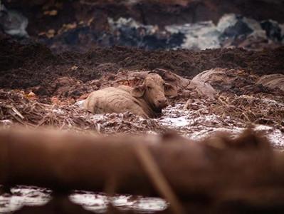 Brumadinho: Conselho de Veterinária responde críticas sobre o abate de animais com fuzil