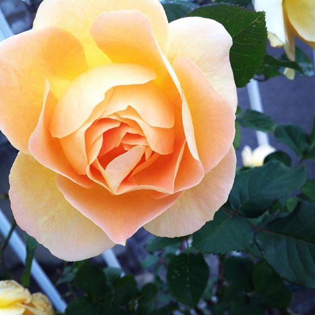 黄色いバラが好き