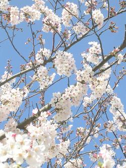 桜の季節はいいな〜