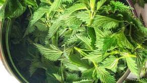 L'ortie sauvage, une plante médicinale incroyable !