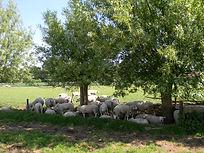 schapen manuelhoeve.JPG