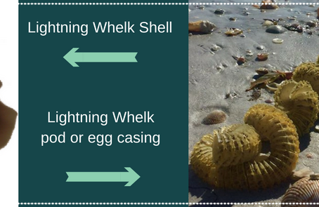 Sally Sees Sea Shells...