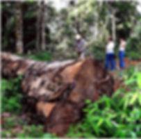 Extração de madeira