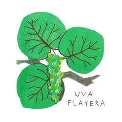 Uva Playera