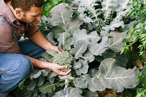 Picking Broccoli 2