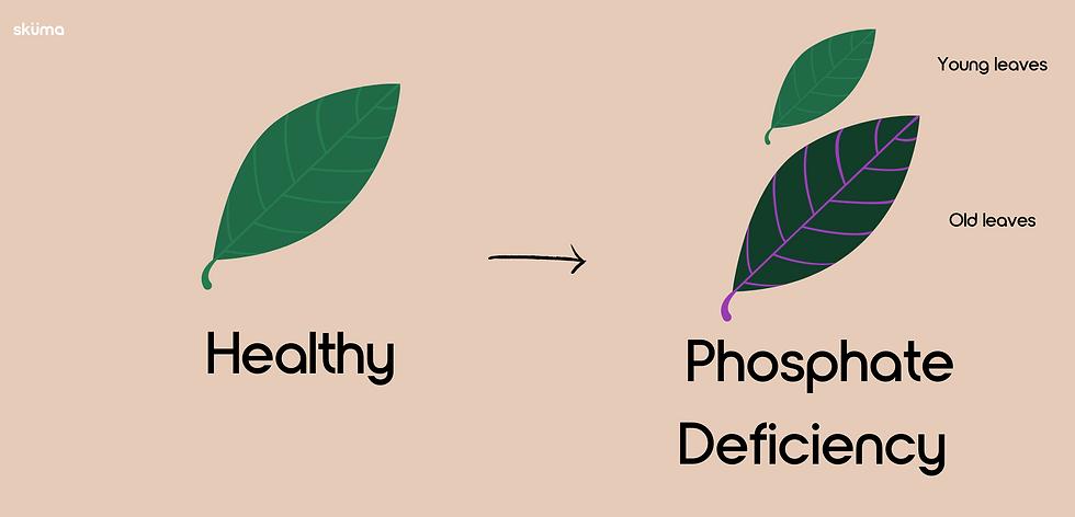Phosphate Deficiency for plants
