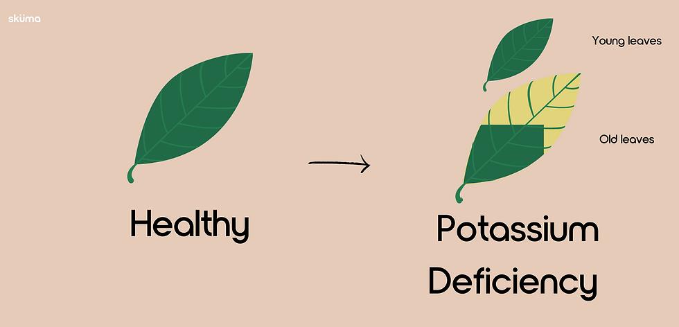 Potassium Deficiency for plants