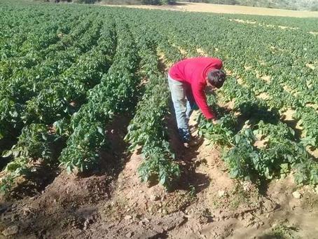 Bajas temperaturas afectan producción de lechuga, brócoli, acelga y tomates en Valles cruceños
