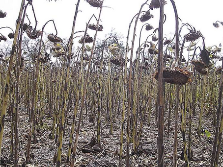 El sector oleaginoso estima unas 350.000 hectáreas afectadas por sequía y heladas