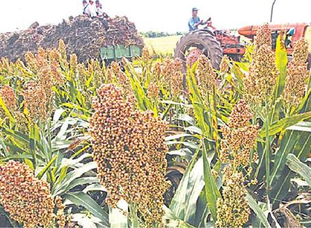 Crece el área agrícola de sorgo y Santa Cruz registra venta externa